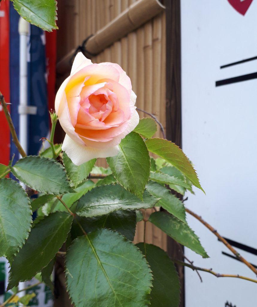 バラの見頃がそろそろ終わる頃、スマイルでは一輪やっと咲きました! 花まで私に似ています(笑)
